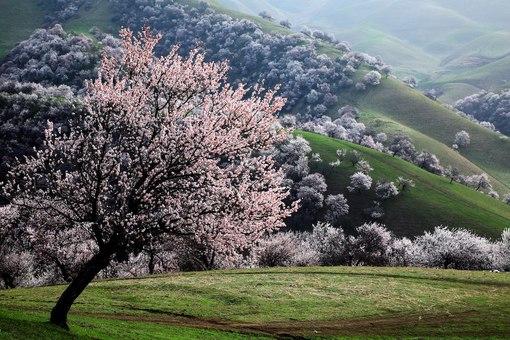 Абрикос-цветет